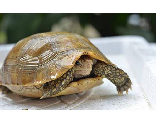Bạn có thể thu hút thêm nhiều vận may bằng cách nuôi rùa trong nhà.